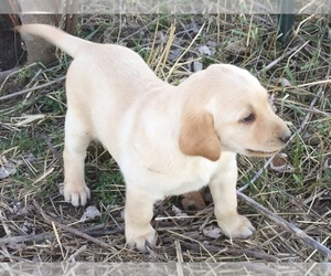 Labrador Retriever Puppy for sale in MANES, MO, USA