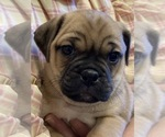 Small Photo #2 Jug Puppy For Sale in ORRVILLE, OH, USA