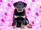 Rottweiler Mix Puppy for Sale