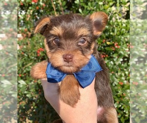 Yorkshire Terrier Dog for Adoption in FRAMINGHAM, Massachusetts USA