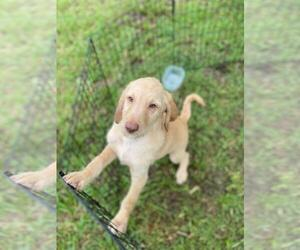 Labradoodle Puppy for Sale in KISSIMMEE, Florida USA