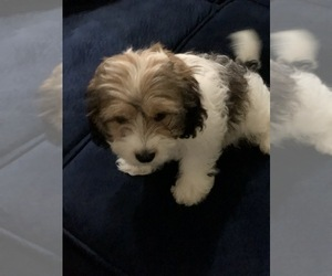 Cavachon Puppy for Sale in LAUREL, Maryland USA