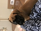 Mastiff Puppy For Sale in ALVIN, IL, USA