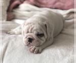 Small #6 English Bulldog