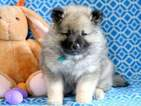 Keeshond Puppy For Sale in MOUNT JOY, PA, USA