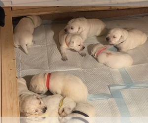 Labrador Retriever Puppy for sale in MOSES LAKE, WA, USA