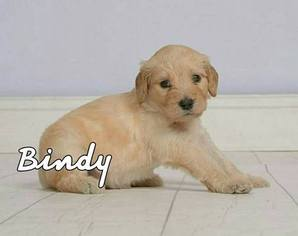Goldendoodle Puppy For Sale in EDMOND, OK, USA
