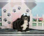 Puppy 8 Zuchon