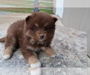 Pomsky Dog for Adoption in INDIANAPOLIS, Indiana USA