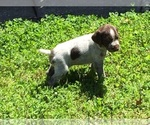 Small #20 German Wirehaired Pointer