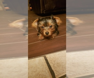Yorkshire Terrier Puppy for sale in HOUSTON, TX, USA