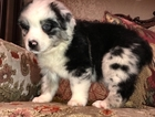 Australian Shepherd Puppy For Sale in AZLE, TX, USA