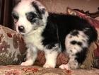 Australian Shepherd Puppy For Sale in AZLE, Texas,