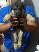 German Shepherd Dog Puppy For Sale in HOUSTON, TX,