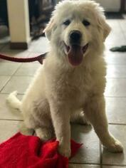 Great Pyrenees Puppy for sale in HILL CITY, MN, USA