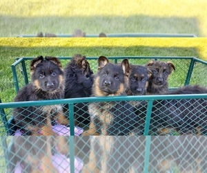 German Shepherd Dog Puppy for sale in OGDEN, NY, USA