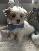 Maltese-Yorkinese Mix Puppy For Sale in HONEY BROOK, PA, USA