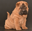 Chinese Shar-Pei Puppy For Sale in MIAMI, FL
