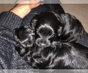 Poodle (Toy)-Yorkshire Terrier Mix Puppy for sale in LEWES, DE, USA