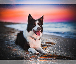 Small #1 Border Collie