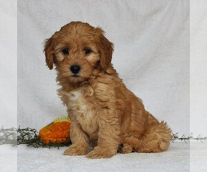 Goldendoodle-Poodle (Miniature) Mix Puppy for sale in LEOLA, PA, USA