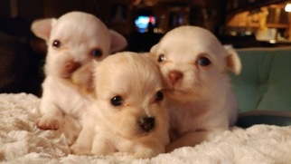 Chihuahua Puppy For Sale in COCHRANVILLE, PA, USA