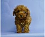 Puppy 15 Poodle (Miniature)