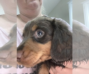 Dachshund Puppy for Sale in GLENDALE, Arizona USA