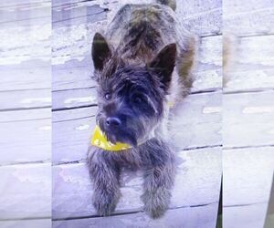 Cairn Terrier Puppy for sale in WHITEWOOD, SD, USA