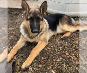 German Shepherd Dog Puppy for sale in CHAMPAIGN, IL, USA