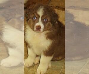 Australian Shepherd Puppy for Sale in DRAYTON, South Carolina USA