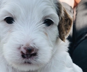 Poodle (Toy)-Sheepadoodle Mix Puppy for Sale in PROVO, Utah USA
