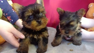 View Ad Yorkshire Terrier Puppy For Sale Georgia Ellijay Usa