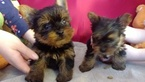 Yorkshire Terrier Puppy For Sale in ELLIJAY, Georgia,
