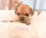 Small Photo #2 Cavalier King Charles Spaniel-French Bulldog Mix Puppy For Sale in LAWRENCEVILLE, GA, USA