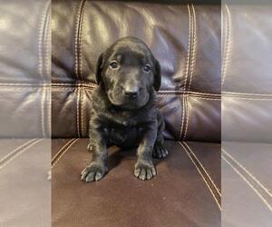 Labrador Retriever Puppy for sale in FINLAYSON, MN, USA