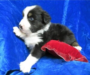 Miniature Australian Shepherd Dog for Adoption in HARTVILLE, Missouri USA
