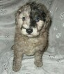 Aussie-Poo Puppy For Sale in LINCOLN, AL, USA