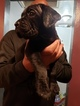 Mastiff Puppy For Sale in HAZELWOOD, WA, USA