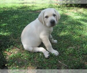 Labrador Retriever Puppy for sale in BURLEIGH, NJ, USA