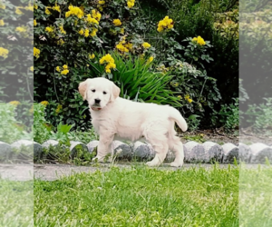 Golden Retriever Puppy for Sale in MIDDLEBURG, Pennsylvania USA