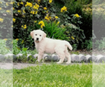 Golden Retriever Puppy For Sale in MIDDLEBURG, PA, USA