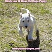 Small Photo #159 Dogo Argentino Puppy For Sale in PINEVILLE, MO, USA