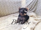 Yorkshire Terrier Puppy For Sale in LAS VEGAS, NV, USA