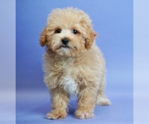 Maltipoo Puppy for Sale in WARSAW, Indiana USA