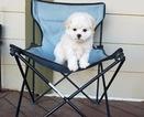 Tiny Teacup Maltese Boy
