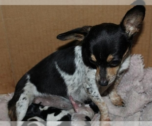 Mother of the Chihuahua puppies born on 05/21/2021
