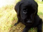 Labrador Retriever Puppy For Sale in SPARTA, WI, USA