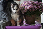 Siberian Husky For Sale Female Hershy