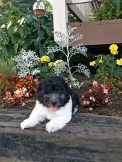 Havanese Puppy For Sale in SUGARCREEK, OH, USA